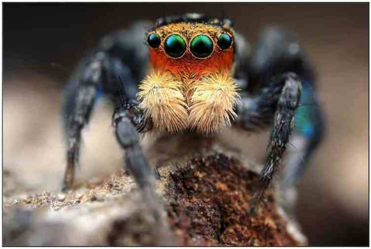 Peacock Jumping spider eyes
