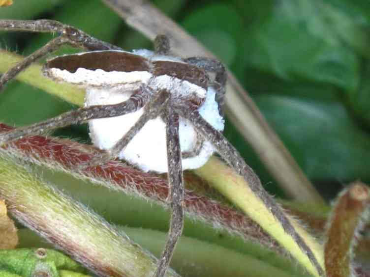 Nursery Web Spider pisauridae with egg sac