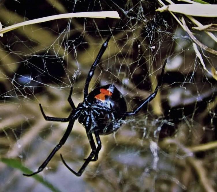 Black Widow upside down