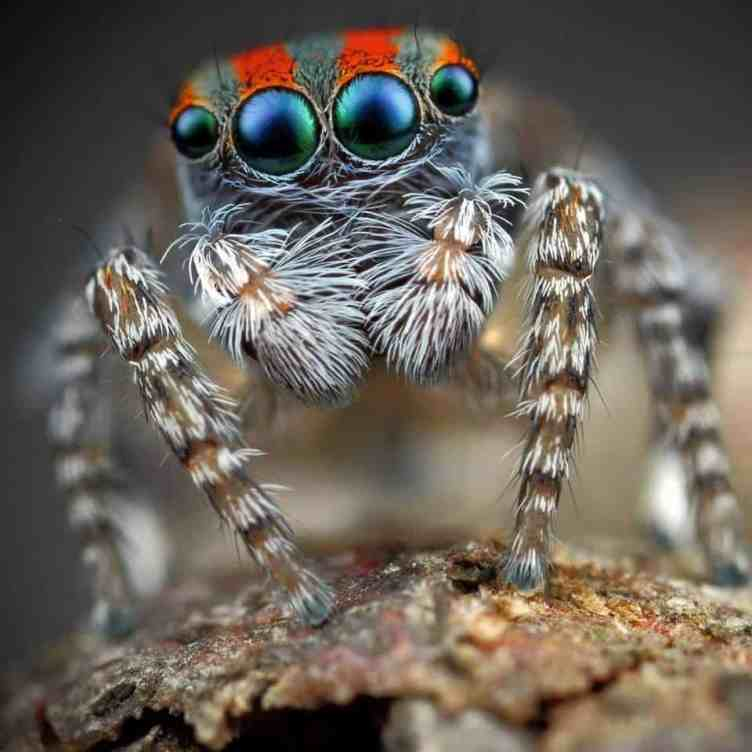 Peacock Jumping spider eyes colorful