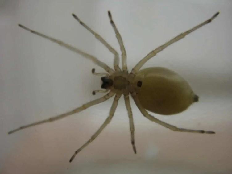 Yellow Sac Spider