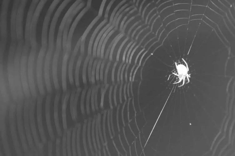 orb weaver in web