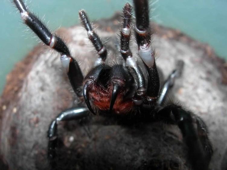 Funnel Web Spider closeup photo