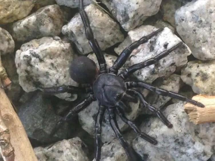 Black Trapdoor Spider