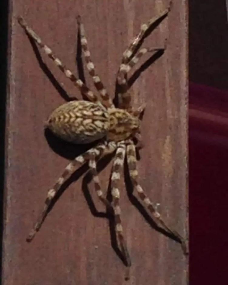 Huntsman Spider from above