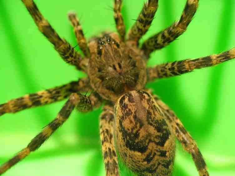 Fishing Spider pic