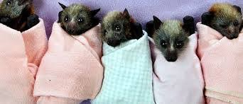 baby bats in a row wrapped up like human babies