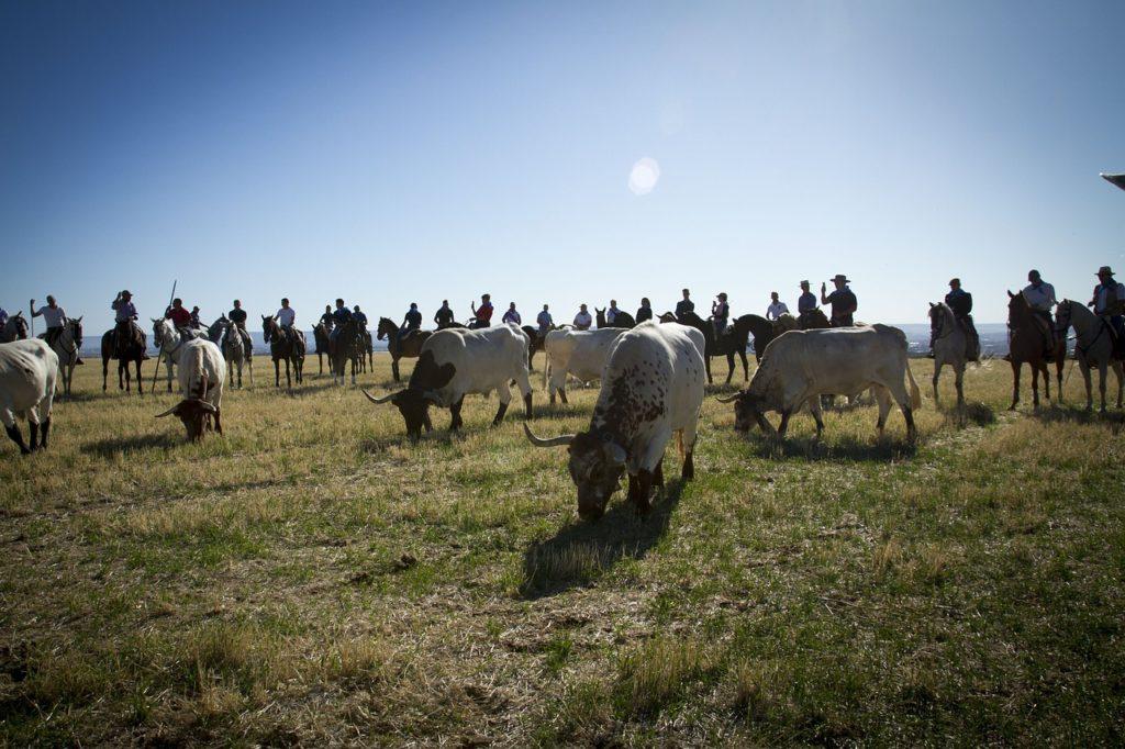 mucche al pascolo con mandria di cavalli e cavalieri
