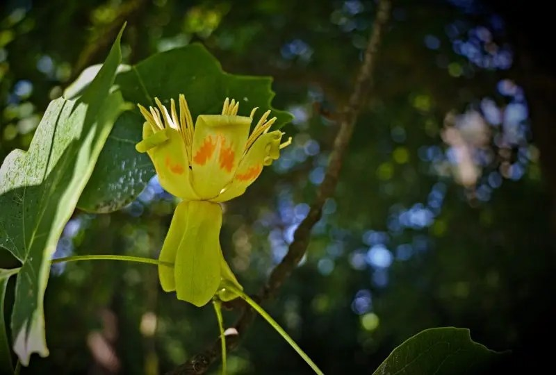 Blüte eines Tulpenbaumes an der Tulpenbaum Allee bei Ferthofen