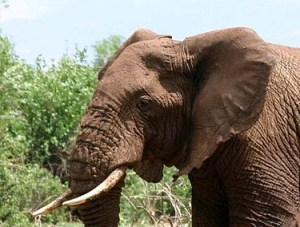 facts about elephant and amazing facts