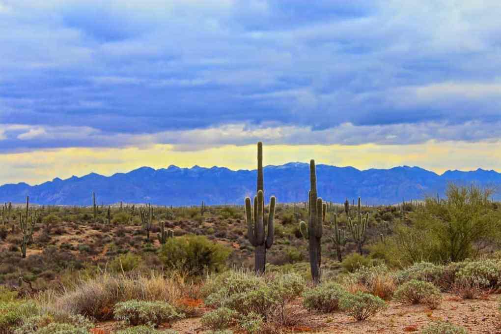 Saguaro Cacti at Sunset