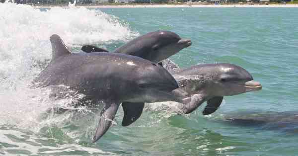 Dolphins for Animal Allies