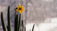 Daffodil, photo by Patrizia