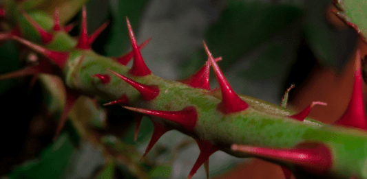 Red thorns, photo by Taylor Boyley