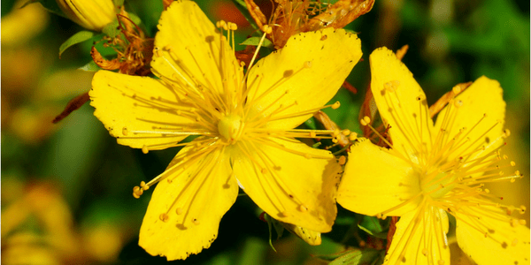 St. John's Wort, photo by Stiller Beobachter