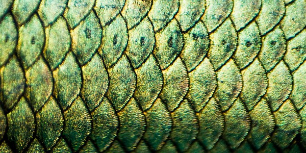 Betta Splendens scales, photo by Chantal Wagner Kornin