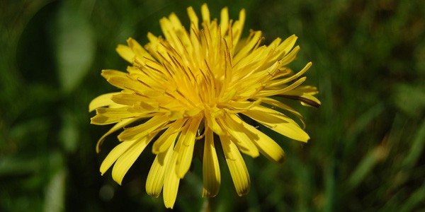 Dandelion, photo by Clare Bell