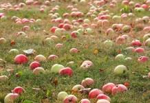 Harvest apples, photo by Liga Eglite