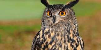 Owl, photo by Pixabay