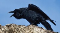 Raven, photo by Doug Brown
