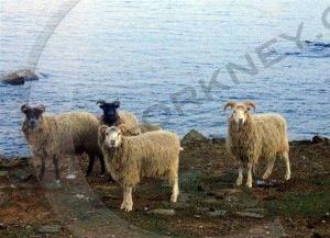 North Ronaldsay sheep, grazing their native shoreline