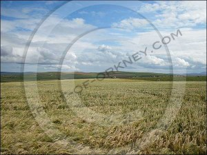 Field of wheat in Orkney