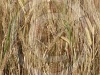 An Orkney barley field