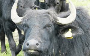 Water Buffalo of School House Farm, Deerness