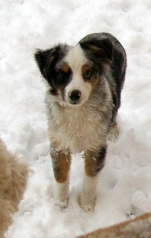 Miniature Australian Shepherd Puppies