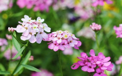 Gibraltars Campion and Candytuft in the wild