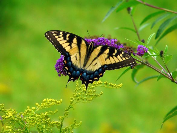 swallowtail-butterfly-1409421