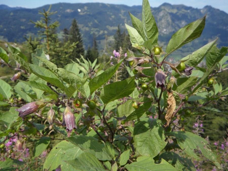 belladonna-173808_1920