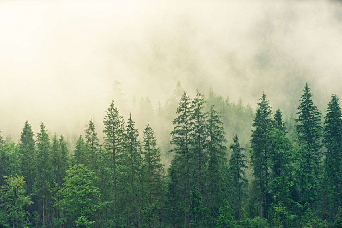 The Spiritual Value Of Pine Trees Spiritual Botany