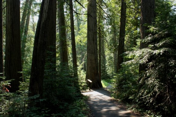 Sunlight filters through the trees in the DeVoto Memorial Grove (Bob Sessions photo)