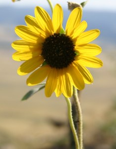 Yellow prairie flower