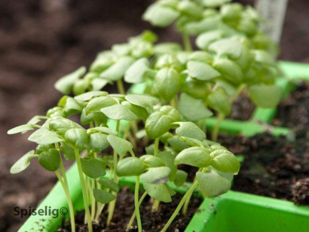 Prikle om basilikum planter kjøkkenhage