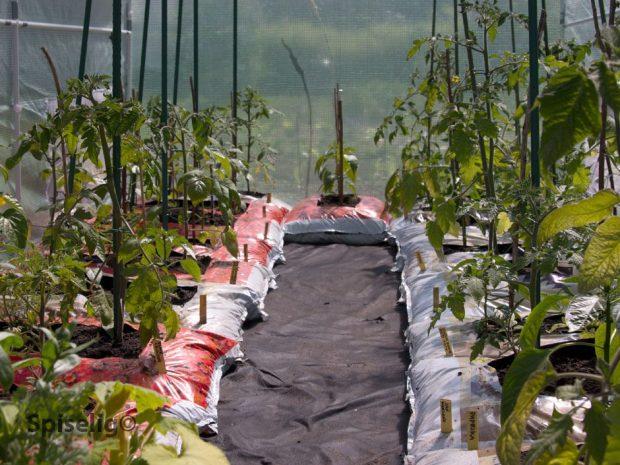 Tomatplanter i sekker