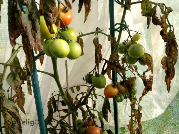 Frost på tomater