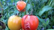 Tomater sprukket