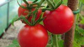 Norderås busk tomat