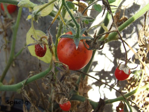 Stell av tomatplanter
