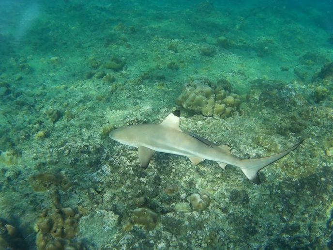 Black Tip Reef Shark at Phi Phi Islands