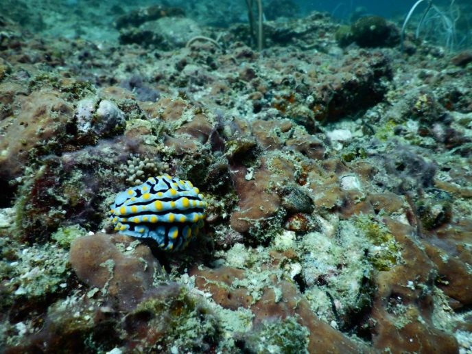 Nudibranch on Koh Phi Phi Islands