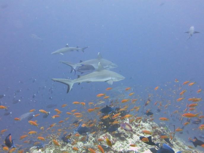 reef sharks rasdhoo atoll maldives