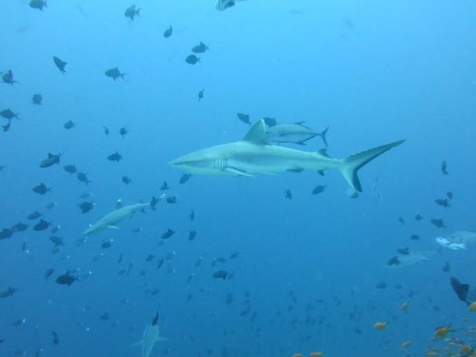 The shark show at Madivaru Corner on the Maldives