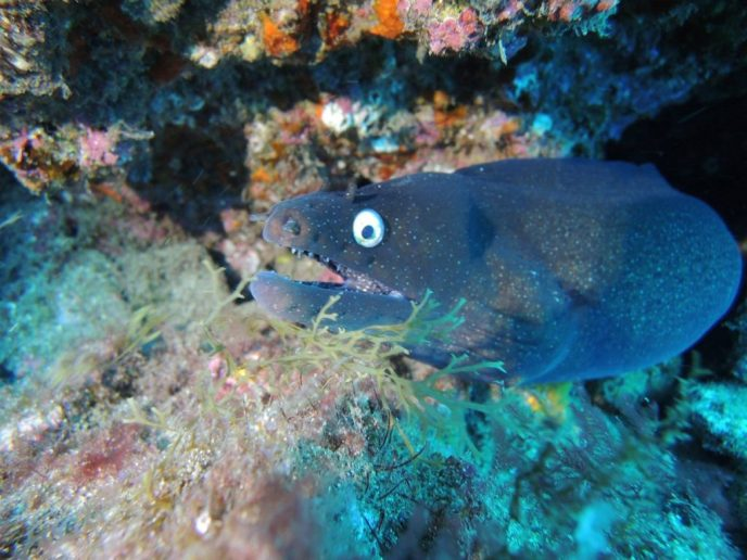 Black Moray Eel during a dive on Gran Canaria