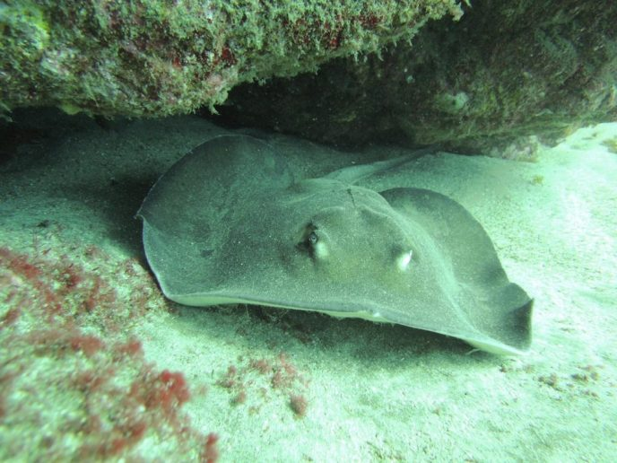 Round Ray scuba diving the Atlantic Ocean from Gran Canaria