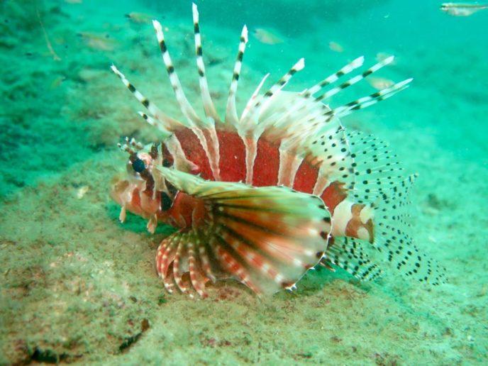 Lion Fish during scuba diving Phuket Island