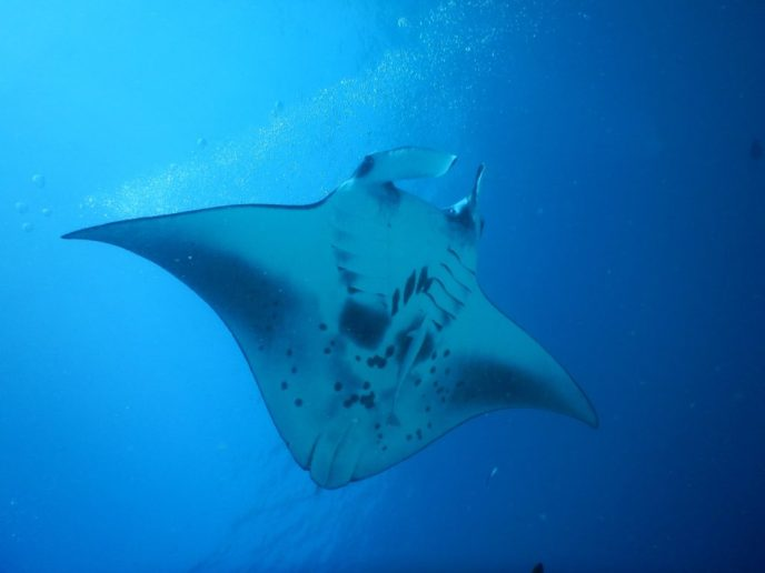 Manta Ray, Cleaning Station on the Maldives