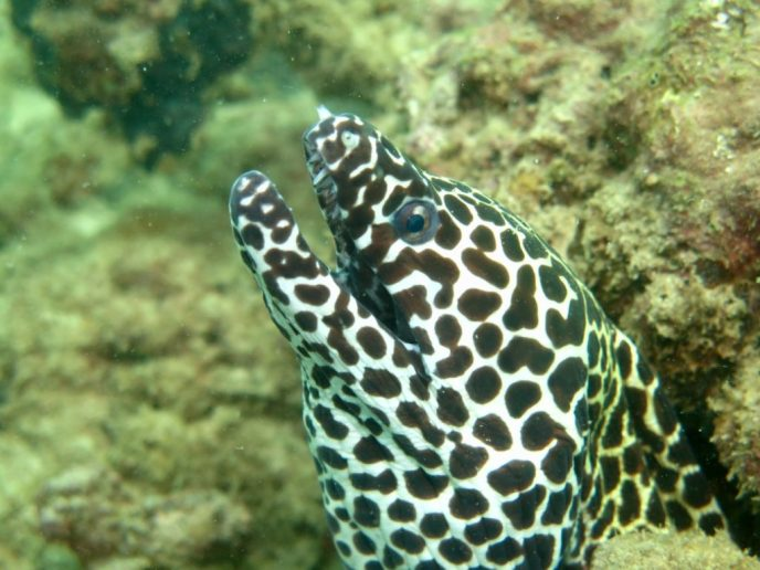 Moray Eel scuba dive pic